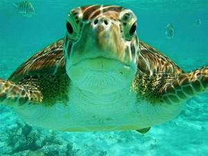 Tortuga-Snorkel-Xtreme-Turtle-Bay-Akumal